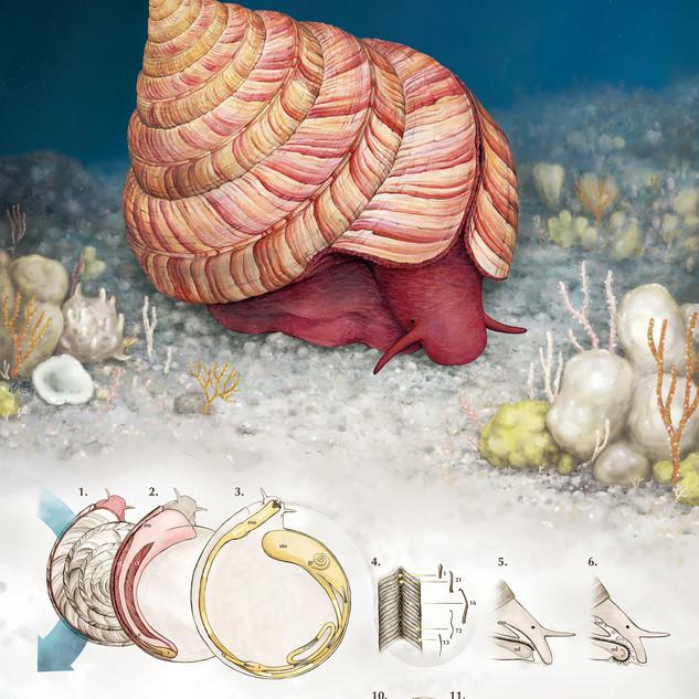 Rumphius slit shell
