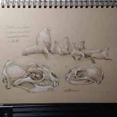 Steller sea lions 北海獅