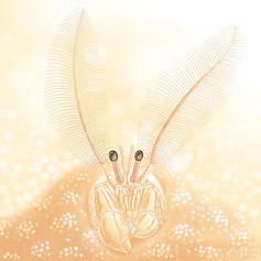 Coral hermit crab (Paguritta spp.)珊瑚寄居蟹
