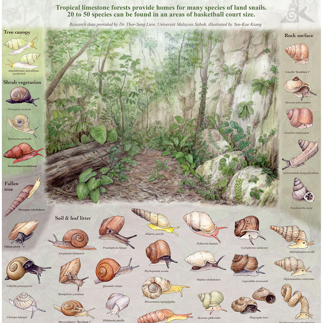 Common Land Snails in the Limestone Forest of Gunung Kanthan, Perak, Malaysia