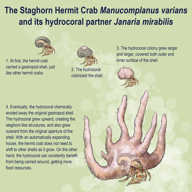 The staghorn hermit crab and its hydrocoral partner