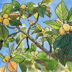 Bread-fruit tree (Artocarpus altilis, 麵包樹)