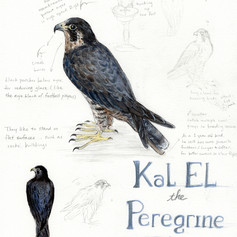 Kal EL the peregrine falcon