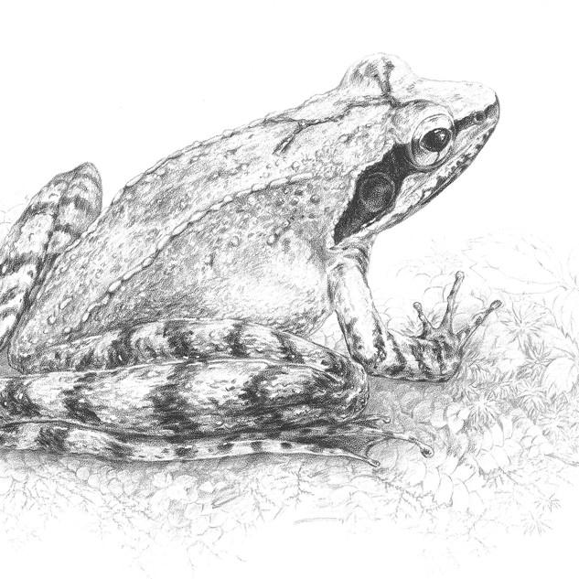 Sauter's frog, Rana sauteri