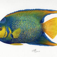 Panama-queen angelfish.jpg