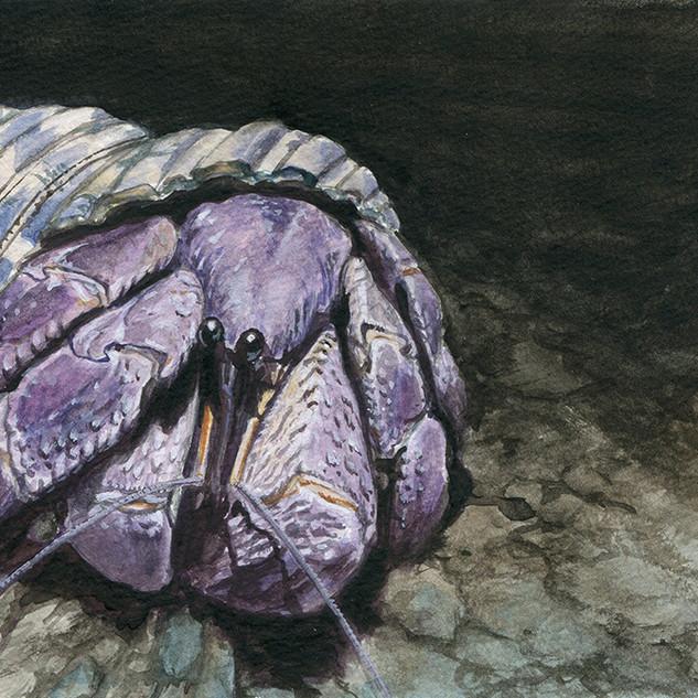 Indonesian hermit crab, Coenobita brevimanus (短腕陸寄居蟹)