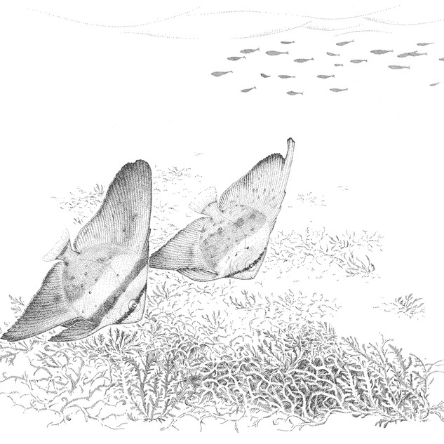 Orbicular batfish, Platax orbicularis, in their coastal nursery ground