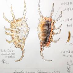 蠍螺 Scorpion conch
