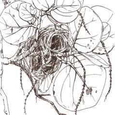 Bird nest on a sea grape tree