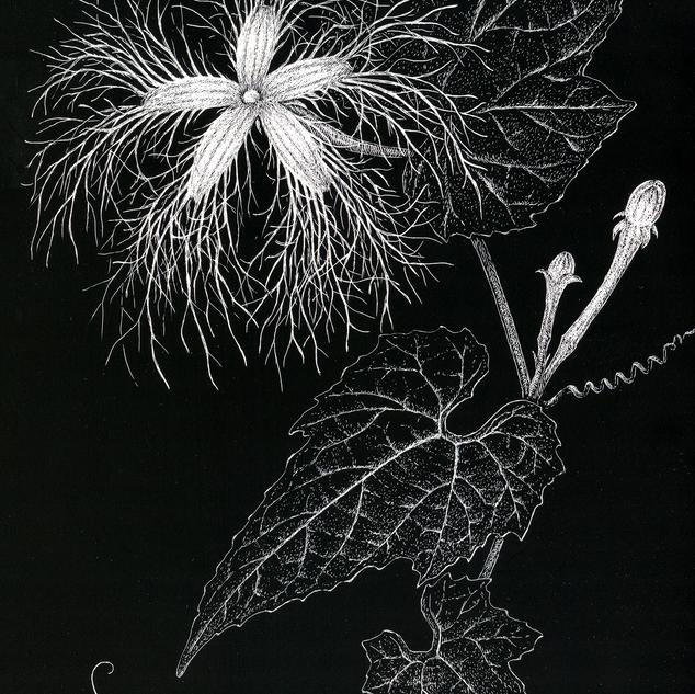王瓜 Trichosanthes cucumeroides (Ser.) Maxim. ex Fr. & Sav.