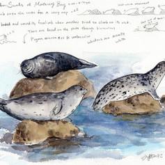 Harbor seals at Monterey Bay