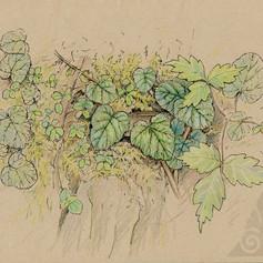 Rubus pectinellus刺萼寒莓