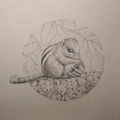 條紋松鼠吃白花八角