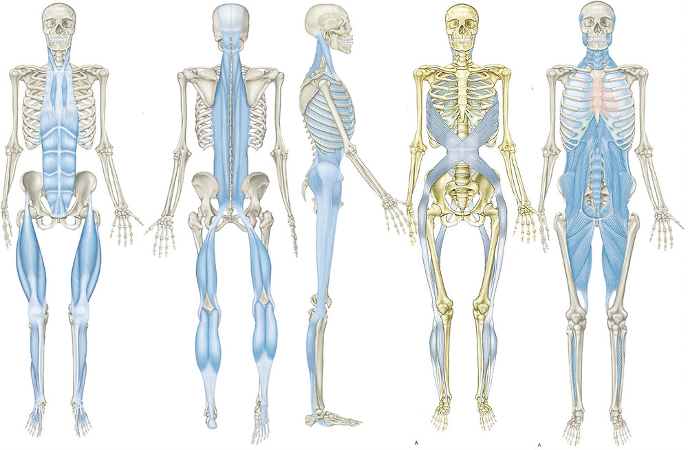anatomy trains, fascia lines, posture, pain, acupuncture
