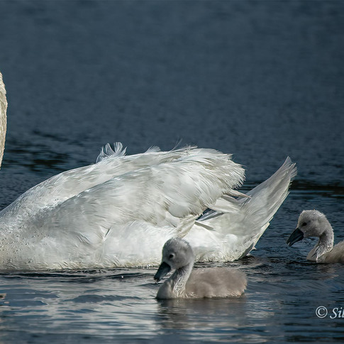 Swan and Babes