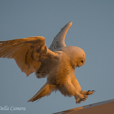 Snowy Owl Glowing from the Sunset