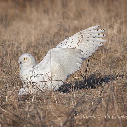 Snowy Owl Hunter
