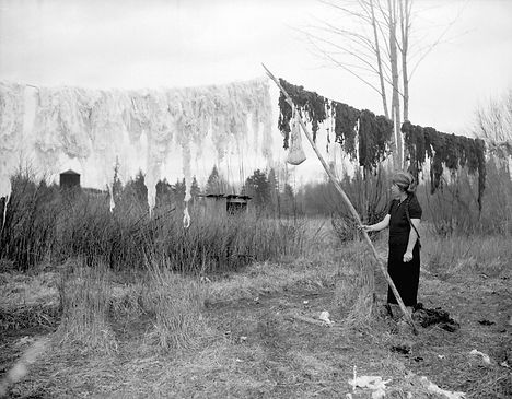 1940  Cowichan wool being hung to dry.jp