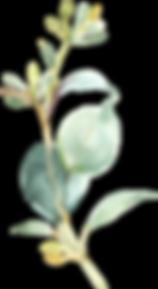 EucalyptusElements_09.png
