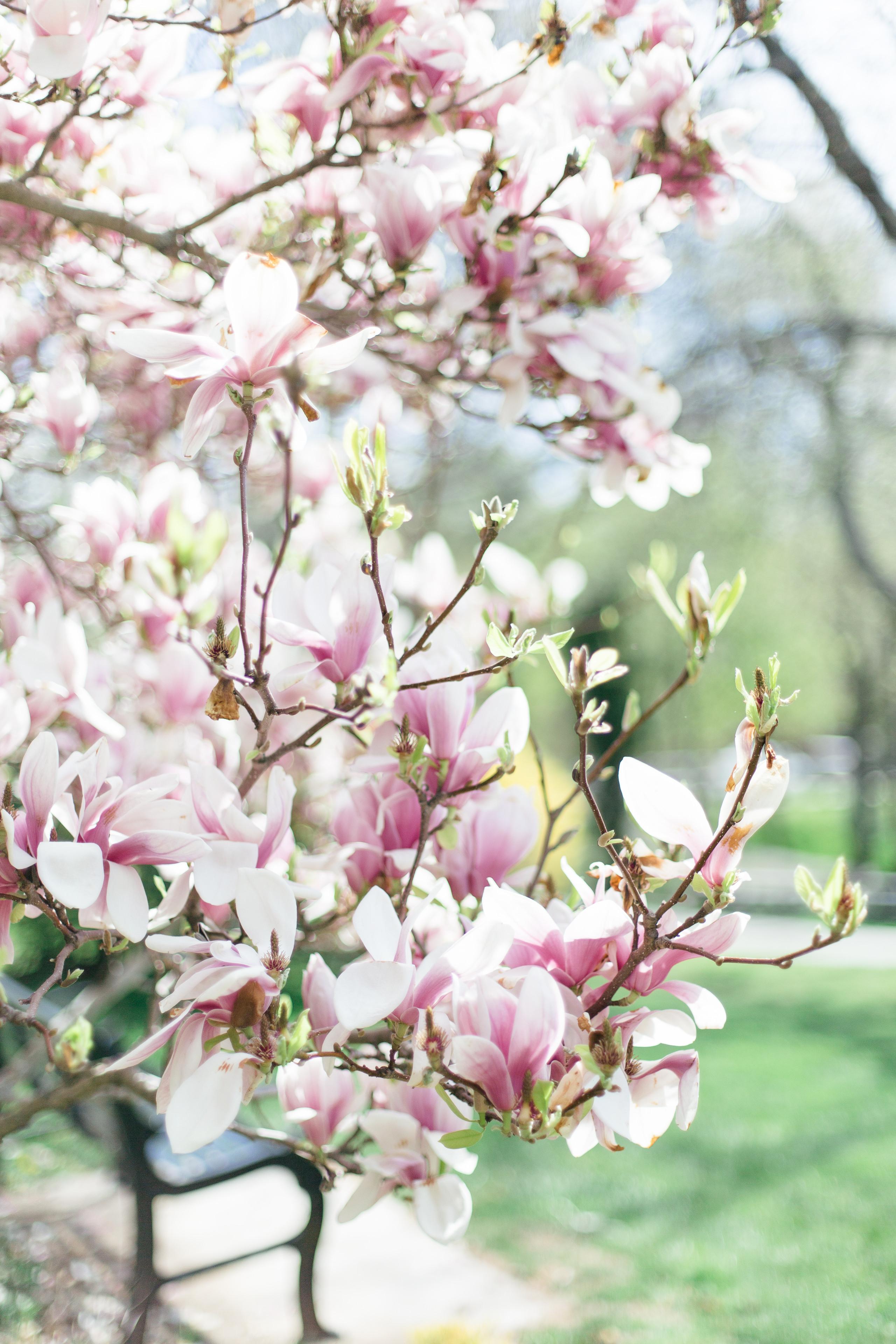 Sullivan's pond Dartmouth nova scotia magnolia tree