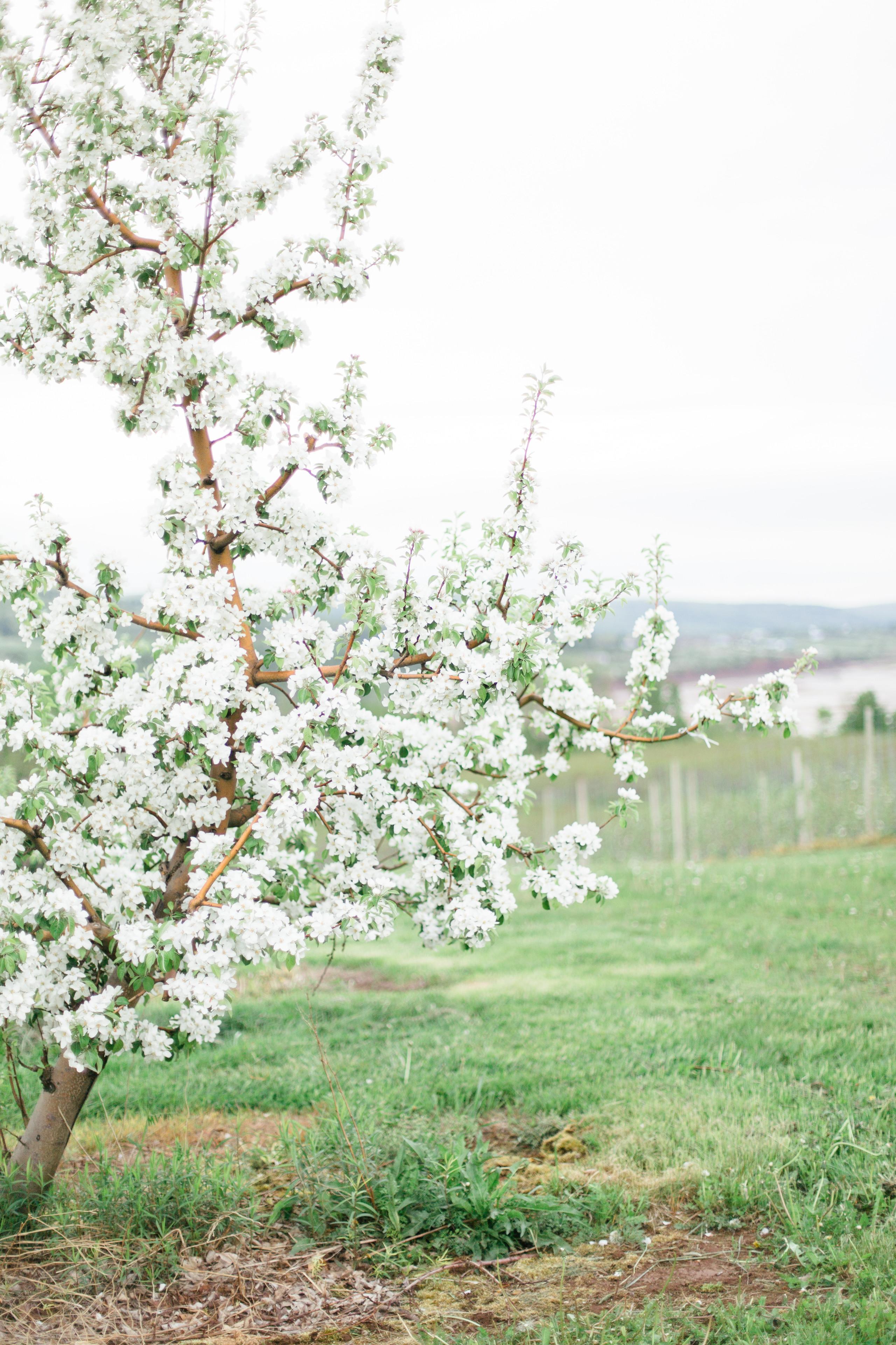 Blomidon, Canning, Annapolis Valley Nova Scotia Apple Blossoms