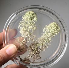 Reindeer lichen sample
