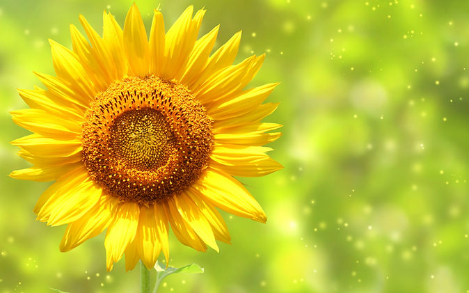 pretty-sunflower-wallpaper-1.jpg