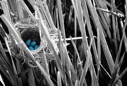 blue birdB&W