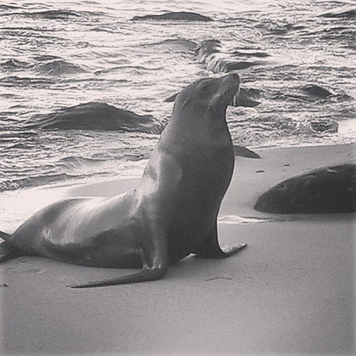 """""""King of his Castle"""" - Mister Sea Lion"""