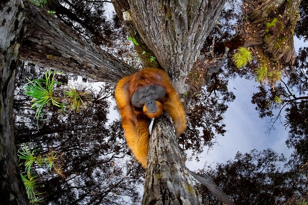 """""""The World is Going Upside Down"""" von Thomas Vijayan. Zweiter Platz, Tiere in ihrer Umwelt. """"Der Name Orang-Utan bedeutet in der malaiischen Sprache """"Mann des Waldes"""". Es gibt 3 Orang-Utan-Arten, die hier abgebildete ist der Borneische Orang-Utan (Pongo pygmaeus). Ausgewachsene männliche Orang-Utans können bis zu 200 Pfund wiegen. Männchen mit Flanschen haben hervorstehende Wangenpolster, die Flansche genannt werden, und einen Kehlsack, der dazu dient, laute Verbalisierungen zu machen, die lange Rufe genannt werden. Sie ernähren sich hauptsächlich von Wildfrüchten wie Litschis, Mangostanfrüchten und Feigen und schlürfen Wasser aus Baumlöchern""""."""