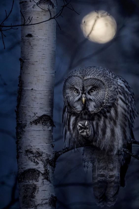 """""""Night Hunter"""" von Jonas Classon. Erster Platz, Tiere in ihrer Umgebung. """"Die Große Graueule ist bekannt für ihre extreme Jagdfähigkeit. Nachdem ich viele Wochen hintereinander an einer Geschichte über diese Eule gearbeitet hatte, bekam ich endlich ein Bild, das alles, was ich zeigen wollte, in nur einem Bild erzählt. Ich habe die Eule Sekunden, bevor sie bei Vollmond eine Wühlmaus angriff, eingefangen. Es ist wirklich ein Jäger der Nacht""""."""