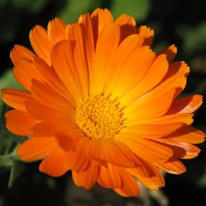 Calendula - the healing herb