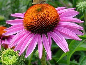 Echinacea - the immune system boost