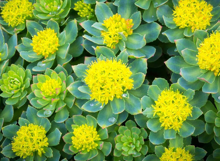 Rhodiola - another great adaptogen herb!!