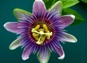 Passion Flower - great for insomnia and relaxation