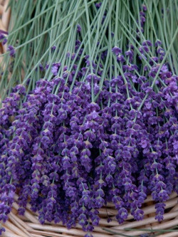 Lavender - calming and a whole lot more