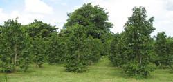 SOURSOP TREES