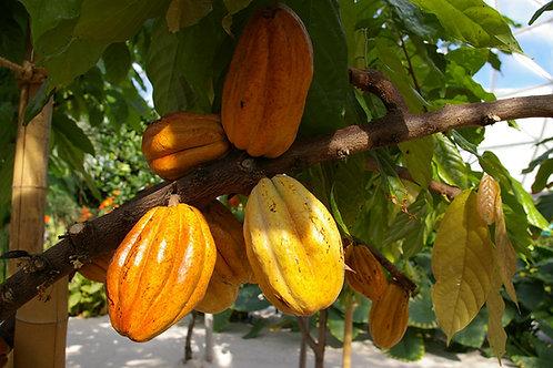 Cacao cocoa Tree (Chocolate)