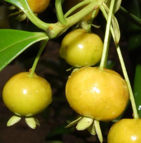 Grumichama Tree (Yellow)