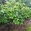Thumbnail: Peanut Butter tree (Already Fruiting)