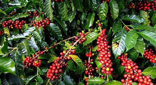 Coffee Tree (Arabica)