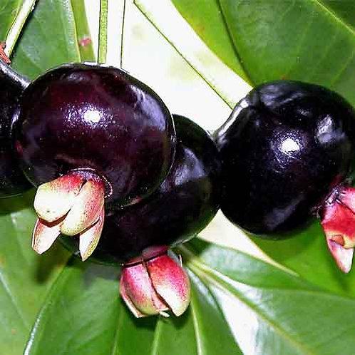 Grumichama Tree (Black)