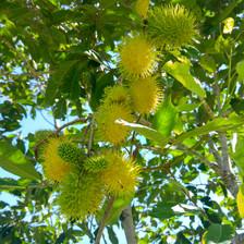 Yellow Rambutans