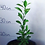 Thumbnail: Mandarin Tree (Ponkan , Asian)Marcot grown