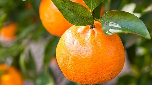 Imperial Mandarin (Already Fruiting marcot cutting)