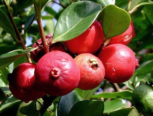 Cherry Guava Tree
