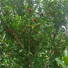 Acerola Tree Fruiting