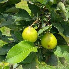 Golden Dorsett Apple (Low Chill Variety)