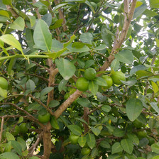 Key / West Indian limes