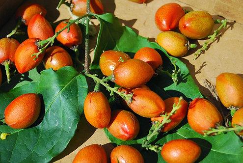 Peanut Butter tree (Already Fruiting)